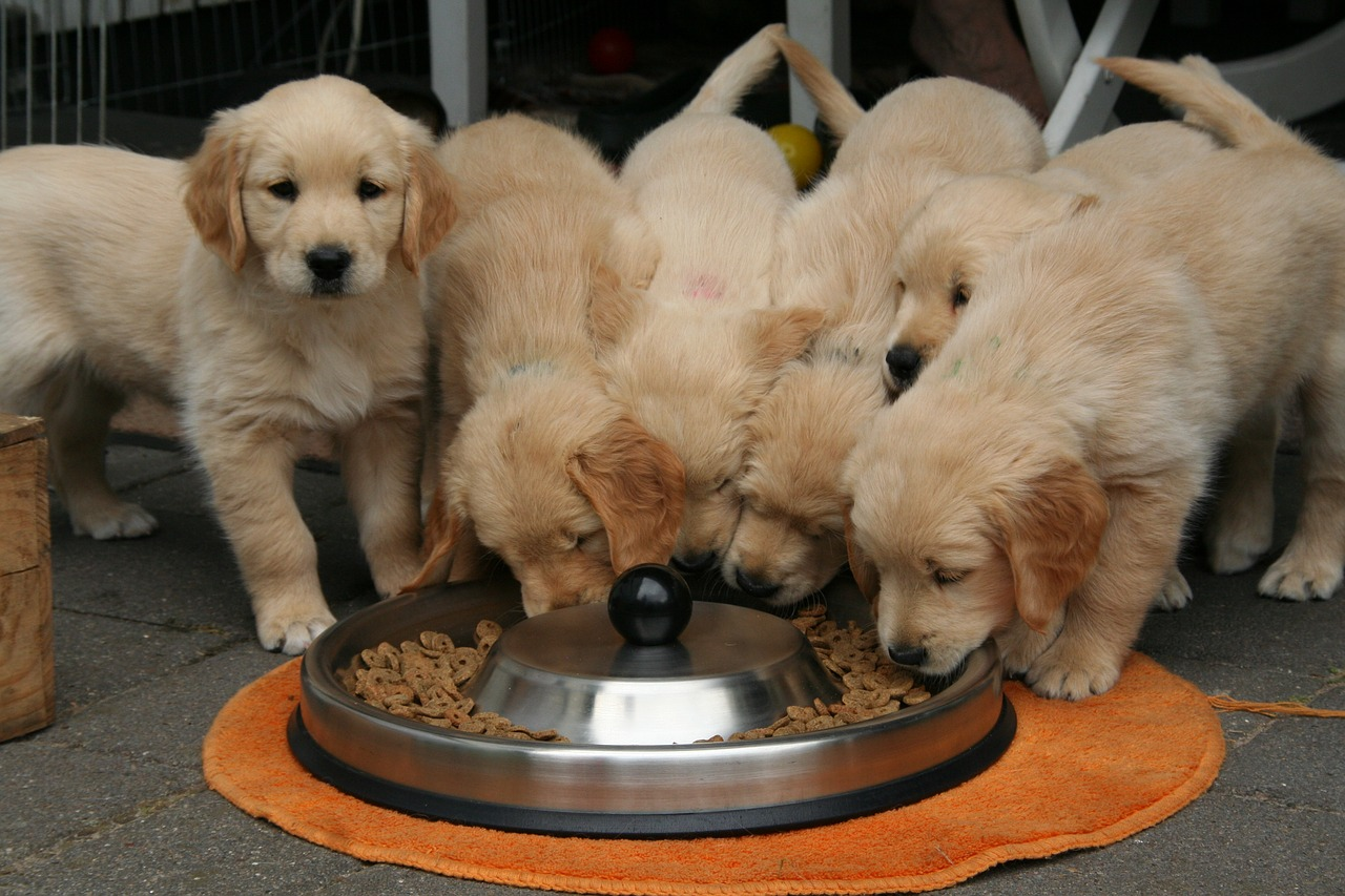 Pack of golden retriever puppies surrounding a food bowl.