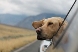 A dog leaning out of a car window.